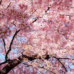 【都内】2018年最新版! プロポーズにおすすめの桜スポット