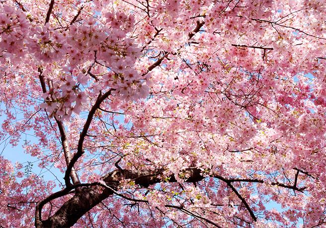プロポーズにおすすめの満開の桜